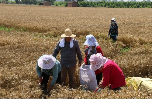 """斗口小麦玉米试验示范站""""三夏""""工作稳步开展"""